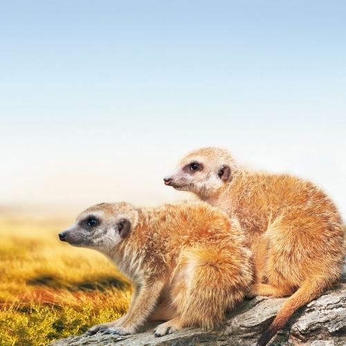 Meerkats/Erdmännchen 2022