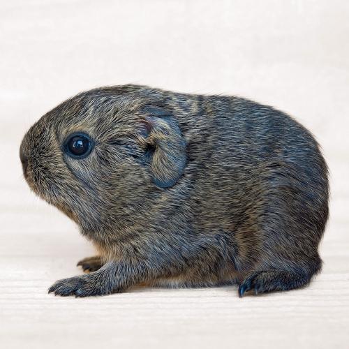 Guinea Pigs/Meerschweinchen 2022