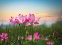 Lotus Blooming at sunset