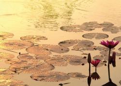 Sunshine rising Lotus Flower