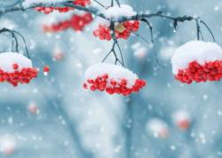 Winter Mountain Ash