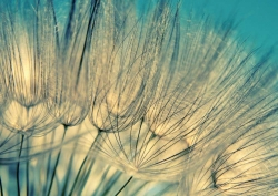 Blue abstract dandelion