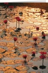 Sei wie der Lotus ...