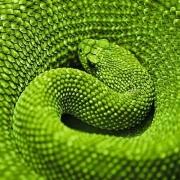 Amazonas snake