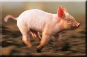 Das Schwein das rennt