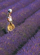 Lavender of the Provence